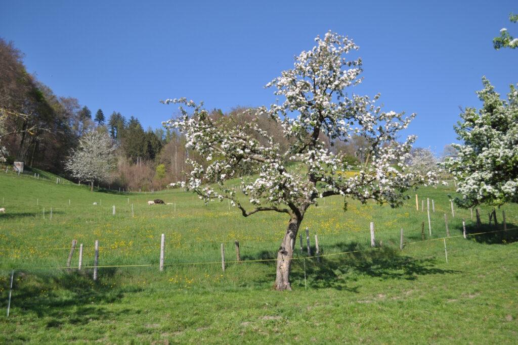 biodiv_hochstamm_web